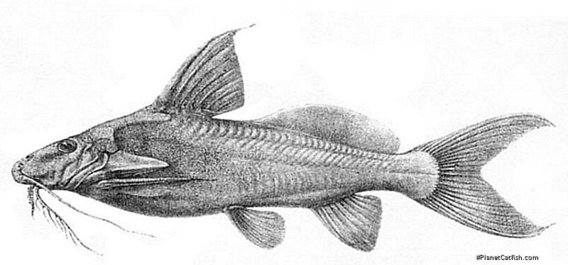 Synodontis depauwi