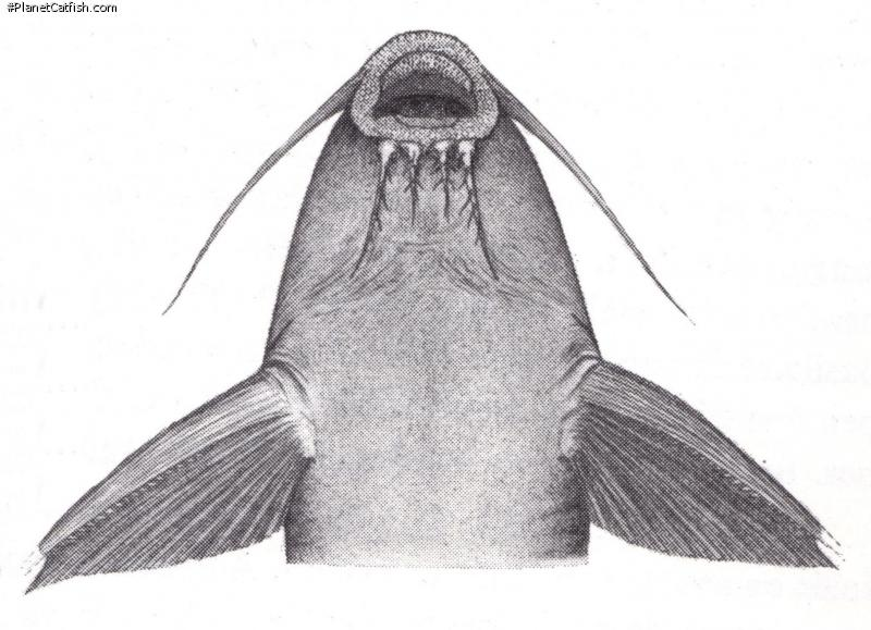 Synodontis dhonti