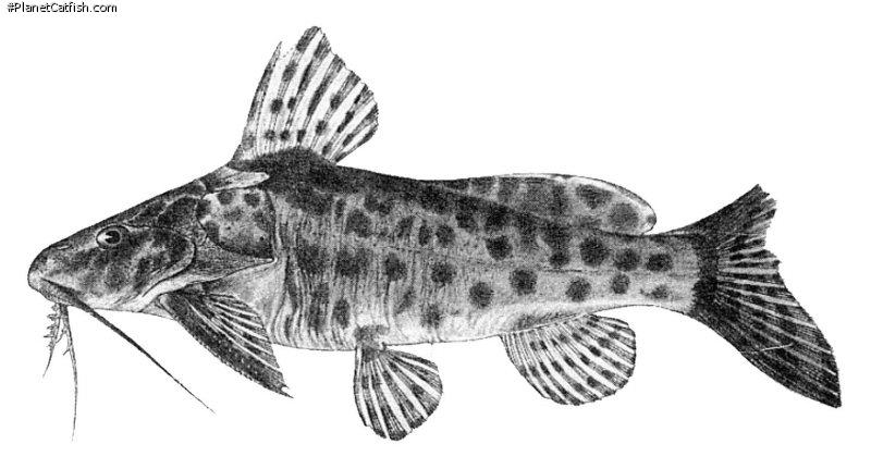Synodontis dorsomaculatus