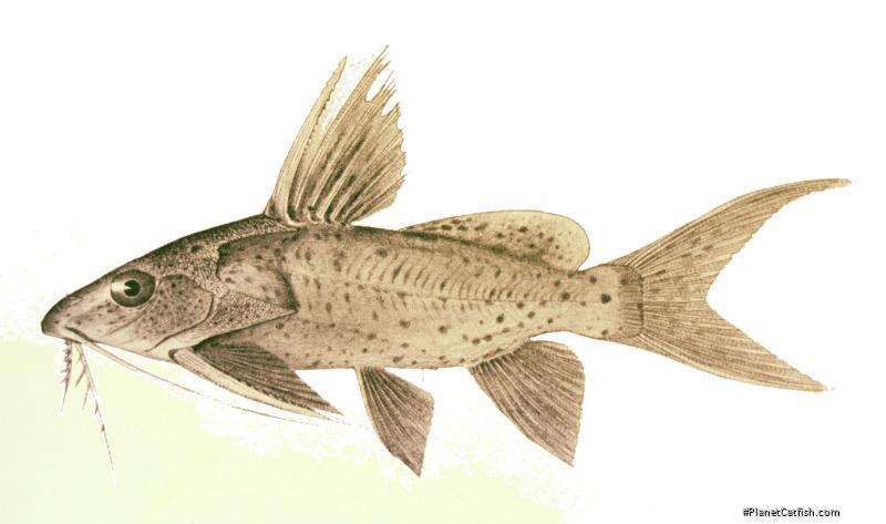 Synodontis khartoumensis