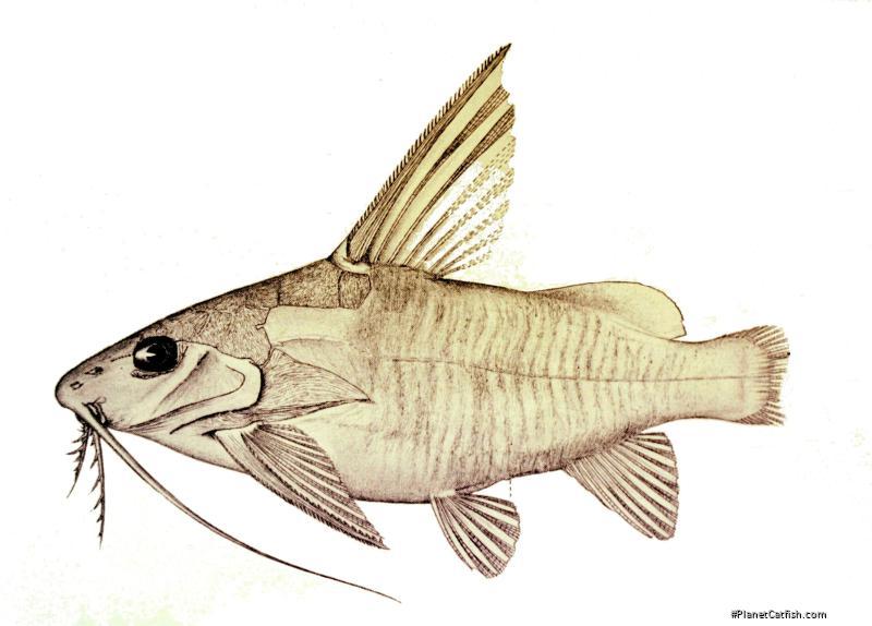 Synodontis longispinis