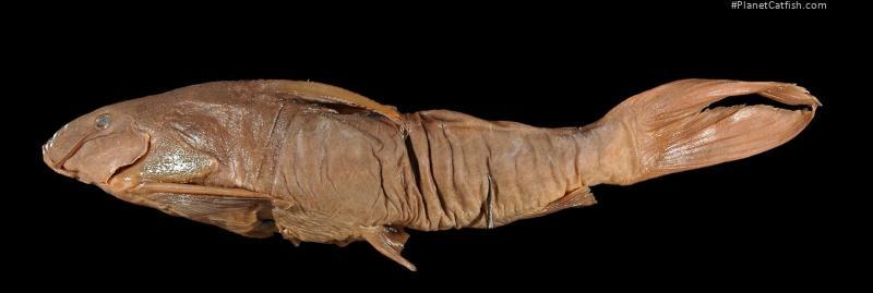 Synodontis matthesi