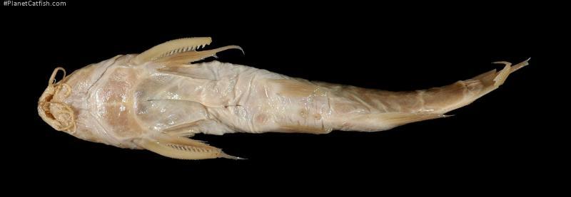 Synodontis nebulosus