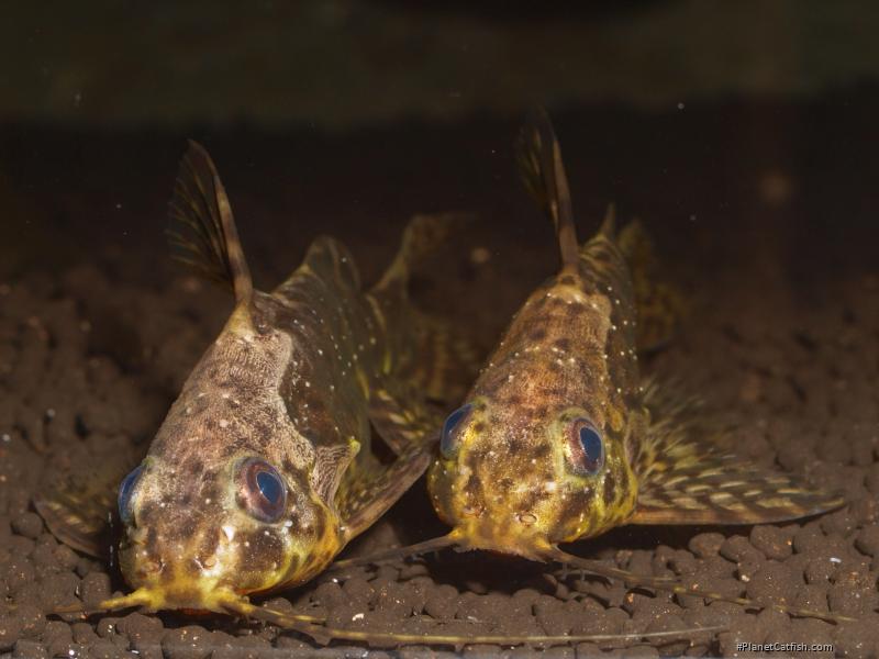 PlanetCatfish.com - Synodontis nigriventris