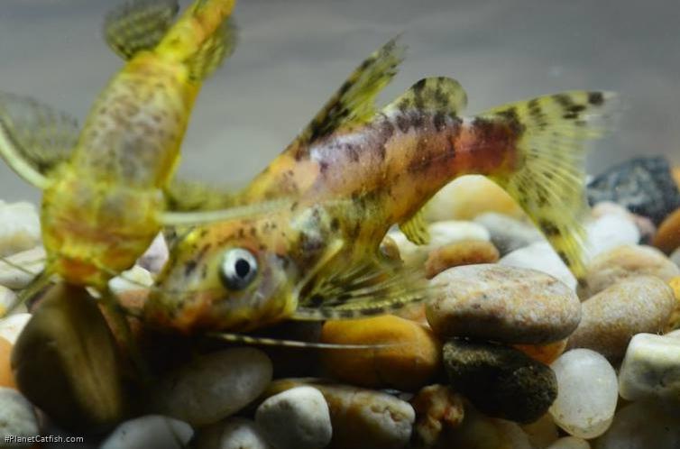 Synodontis nigriventris - PlanetCatfish.com