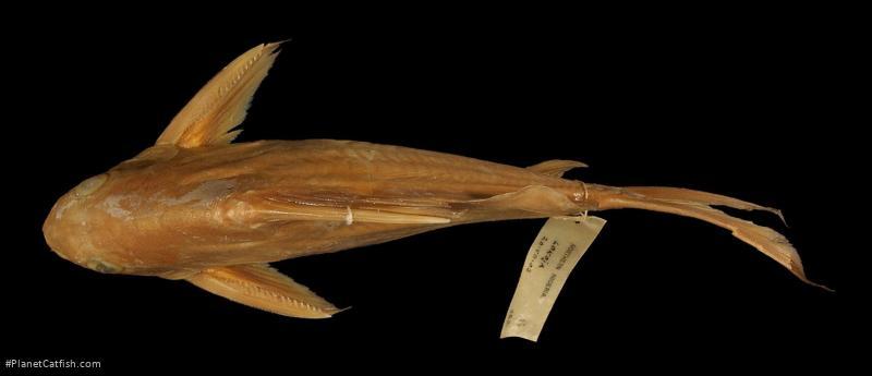 Synodontis resupinatus