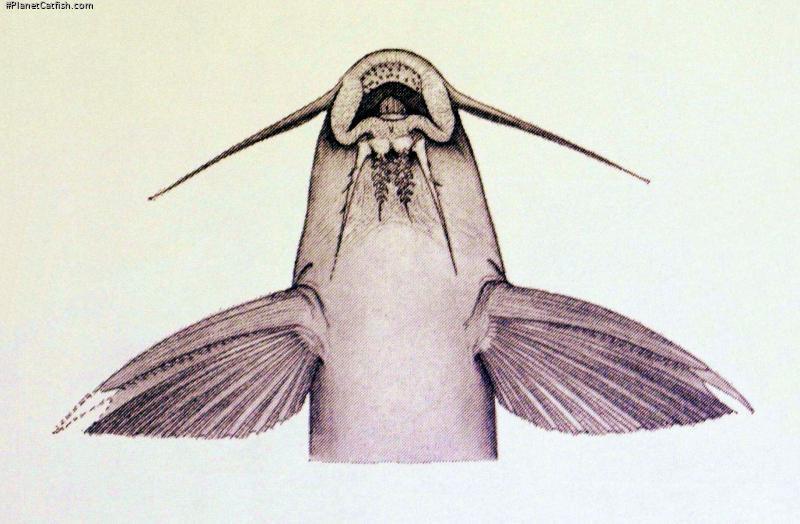 Synodontis vermiculatus