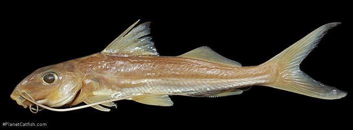 Bergiaria westermanni