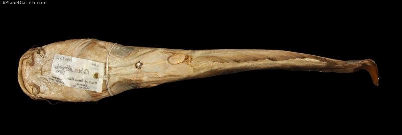 Plotosus abbreviatus