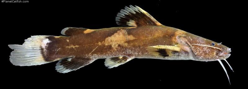 Batrochoglanis transmontanus