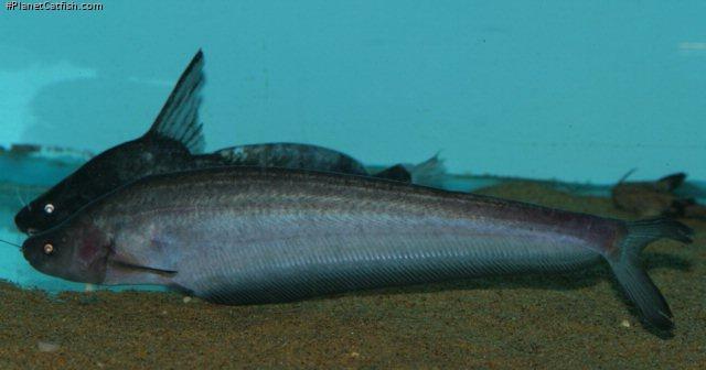 Hemisilurus mekongensis