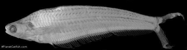 Kryptopterus bicirrhis