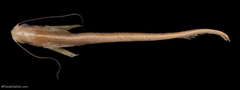 Kryptopterus mononema