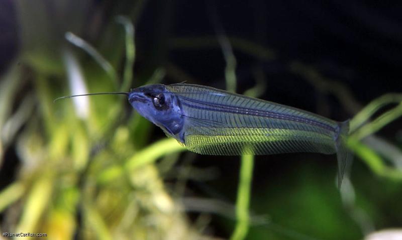 Kryptopterus vitreolus
