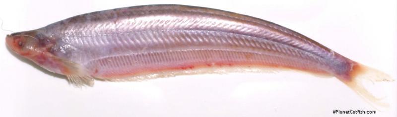 Micronema hexapterus