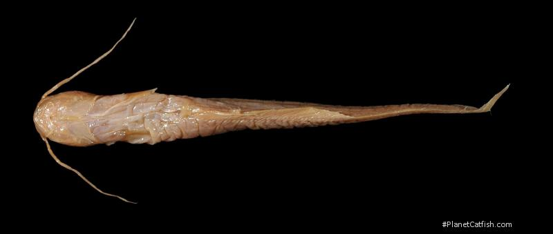 Pterocryptis gangelica