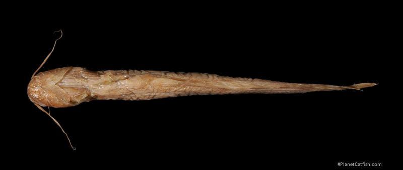Pterocryptis wynaadensis