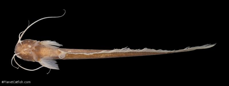 Silurichthys ligneolus