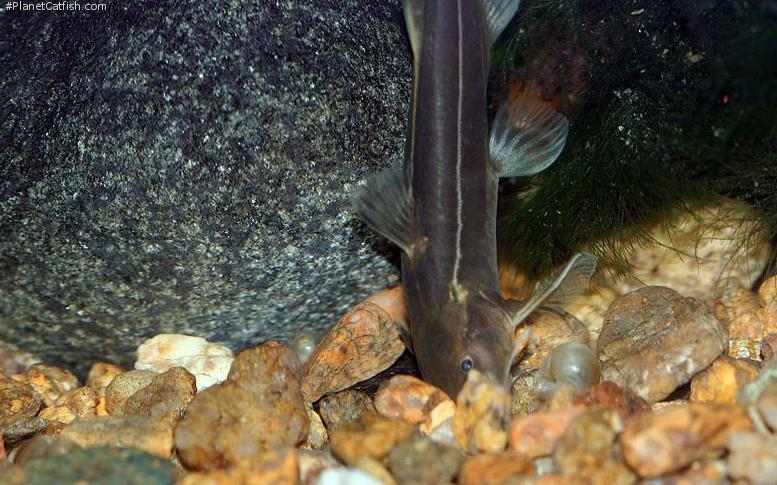 Glyptothorax annandalei