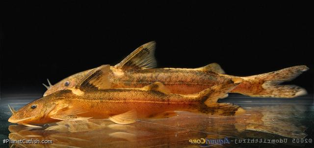 Glyptothorax dorsalis
