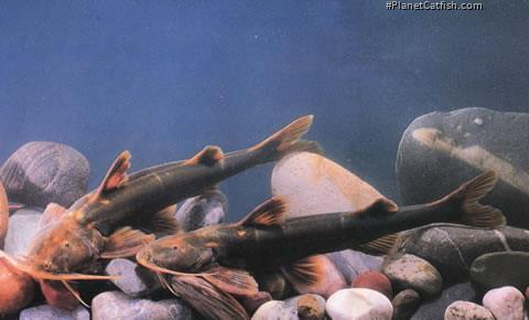 Glyptothorax longicauda