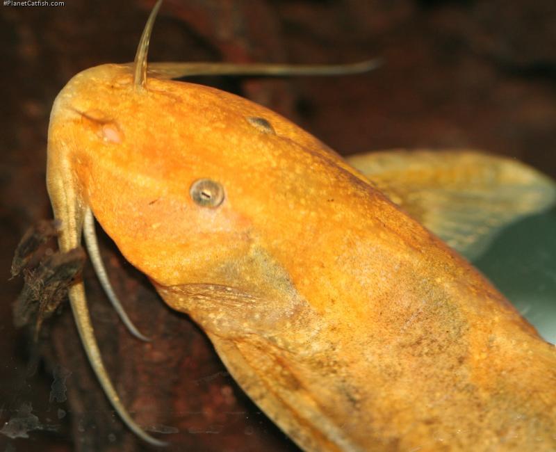 Glyptothorax rugimentum