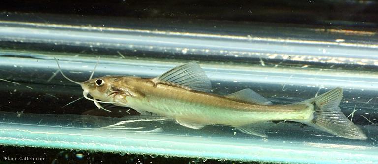 Nangra assamensis