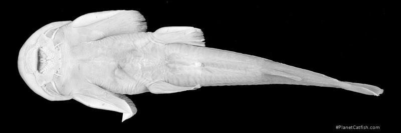 Oreoglanis heteropogon