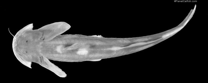 Oreoglanis sudarai