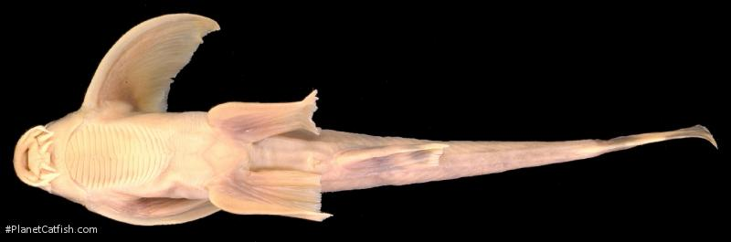 Pseudecheneis longipectoralis