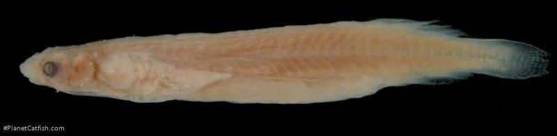 Miuroglanis platycephalus