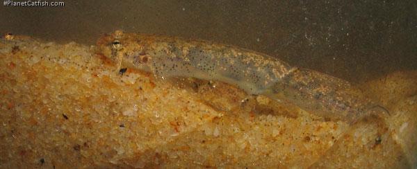 Ochmacanthus cf. alternus