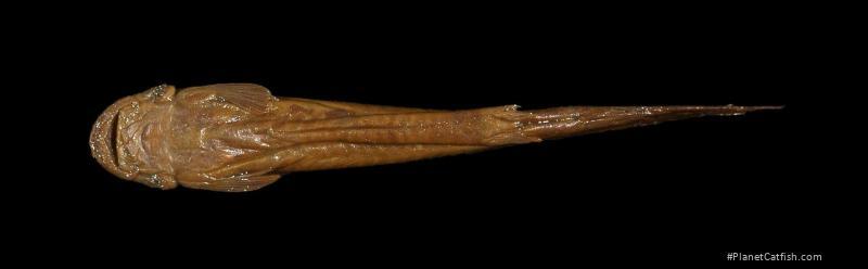Stegophilus insidiosus