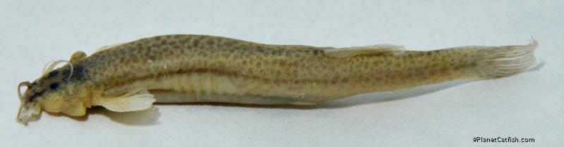 Trichomycterus betuliaensis
