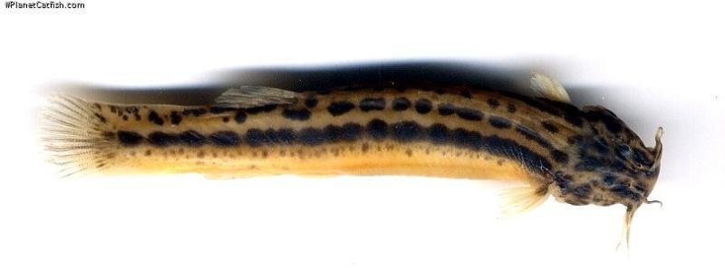 Trichomycterus striatus