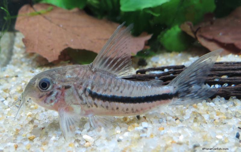 Corydoras(ln9) baderi