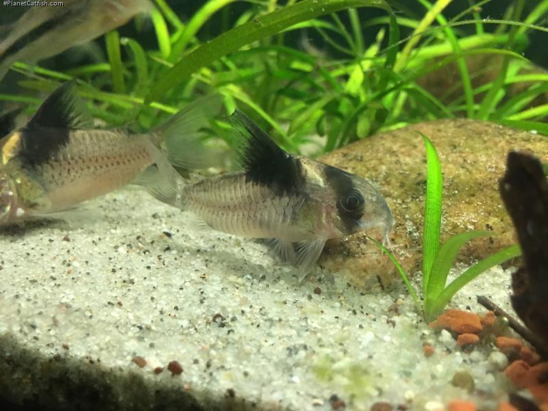 Corydoras(ln9) bicolor