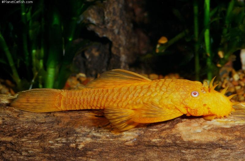 Onwijs Maintaining and Spawning Albino Ancistrus • Reproduction • Shane's GK-24