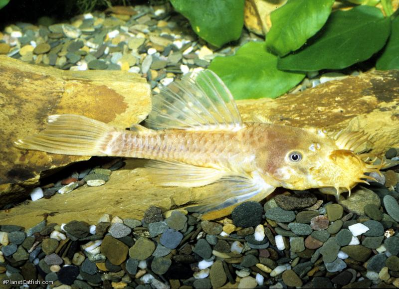 Black-eyed Ancistrus (L144)