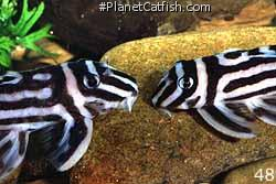Pair of Hypancistrus zebra