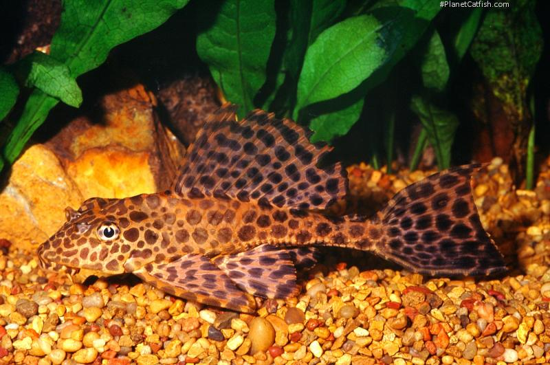 Given a large enough tank, the tiny pleco you purchase today could become a 2- or 3-foot monster in short order. Be sure you have a tank large enough to accommodate the adult size of any pleco you acquire.