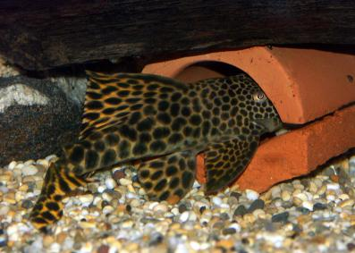 Male in spawning cave
