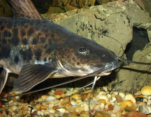 Go Back  gt  Gallery For  gt  Freshwater Aquarium CatfishFreshwater Aquarium Catfish