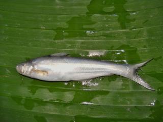 Clupisoma montanum