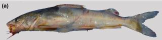 Aspistor quadriscutis