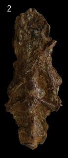 Sciades peregrinus