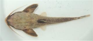 Xyliphius lepturus