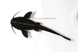 Xyliphius melanopterus