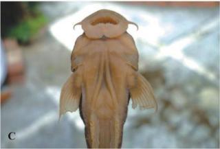 Astroblepus cacharas