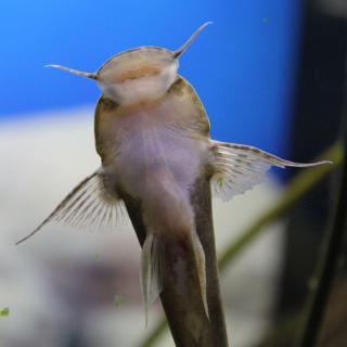 Astroblepus grixalvii